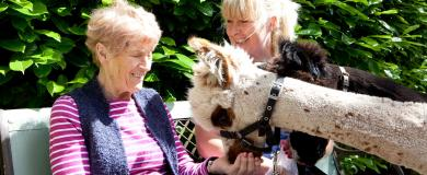 Alpacas feel at home at Shropshire nursing home